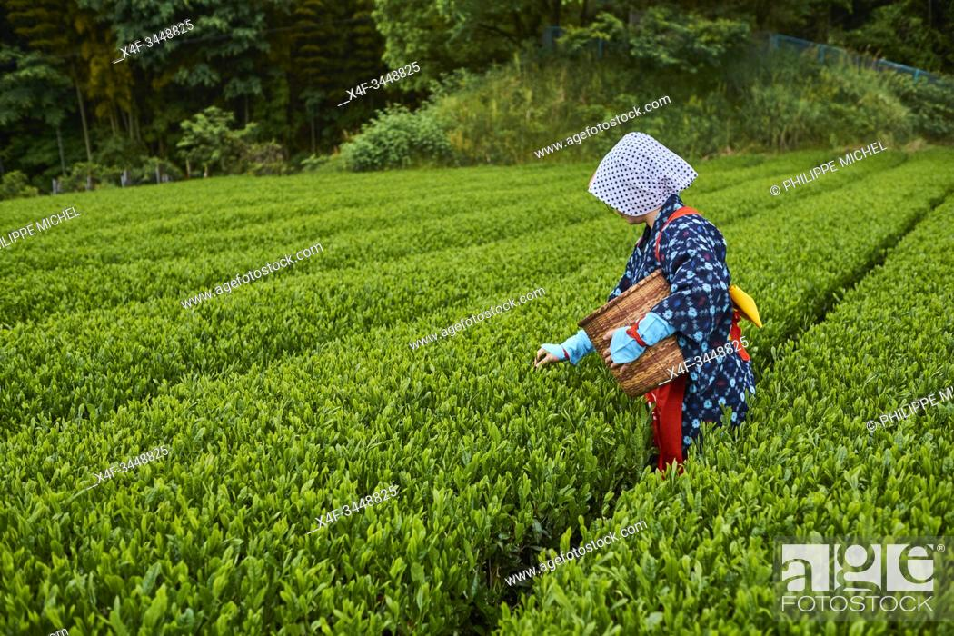 Stock Photo: Japan, Honshu, Shizuoka, tea fields, tea picking.