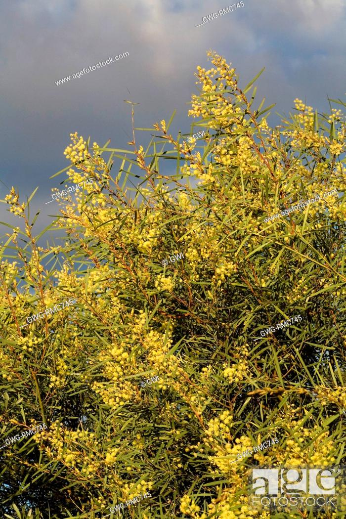 Australian Acacia Iteaphylla Stock Photo Picture And Rights