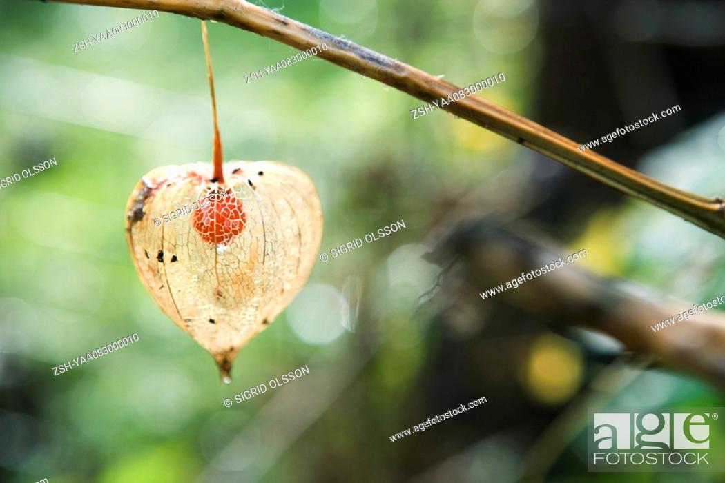 Stock Photo: Winter cherry Physalis alkekengi.