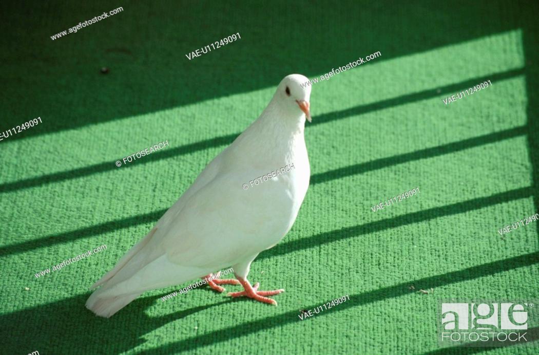 Imagen: Pigeon.