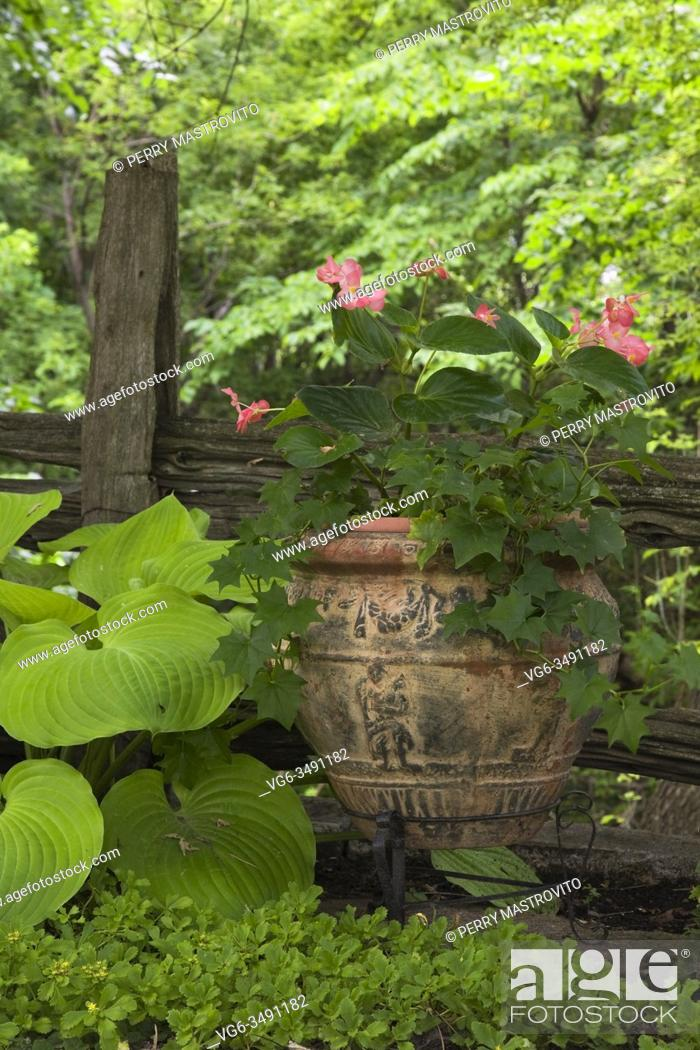 Stock Photo: Hosta plant in front of old wooden rustic fence and ceramic terracotta planter with pink Begonia flowers in backyard country garden in summer, Quebec, Canada.