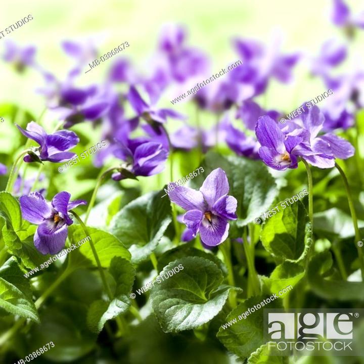 Stock Photo: Garden, scent-violets, Viola Odorata, detail, blooms, flower bed, plants, flowers, spring-flowers, violet-plants, Violaceae, violets, blooms, blooms, prime.