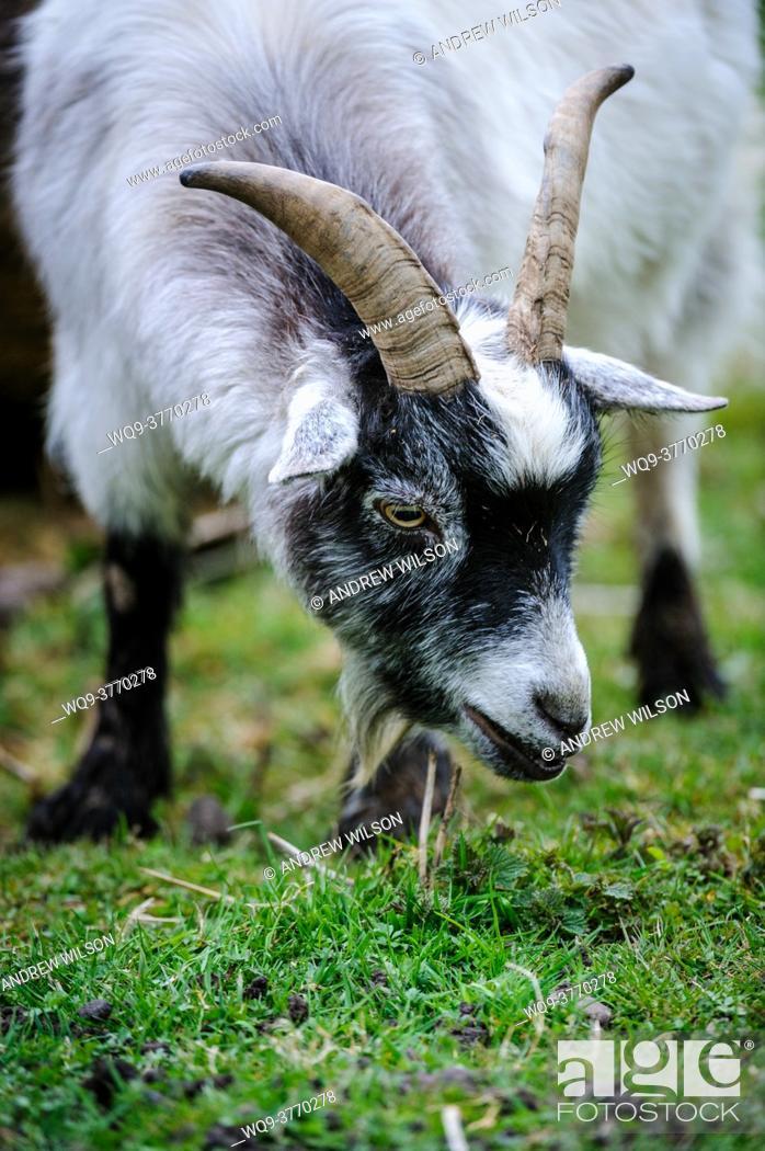 Stock Photo: Adult pygmy goat.