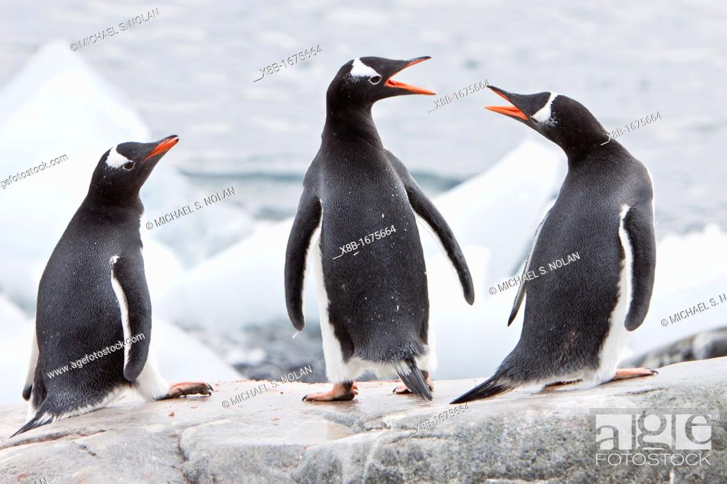 Stock Photo: Adult gentoo penguins Pygoscelis papua on ice in Antarctica.