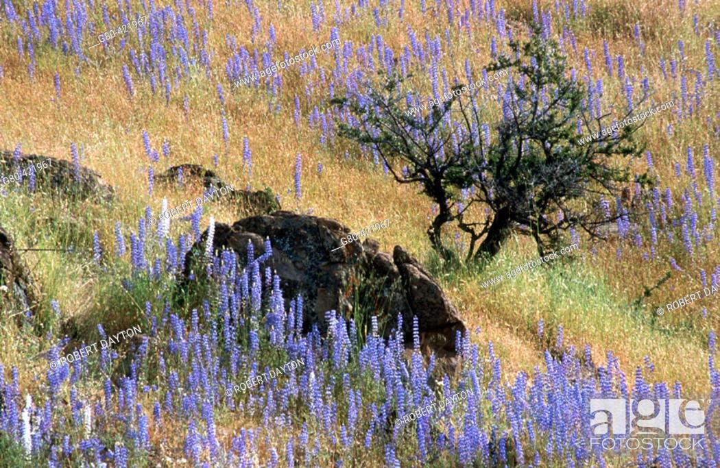 Stock Photo: Lupine. Mariposa County, California, USA.