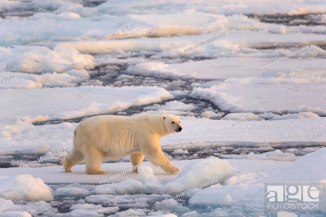Photo de stock: Polar Bear (Ursus maritimus) adult, walking on icefloe, Erik Eriksenstretet, Svalbard, August.