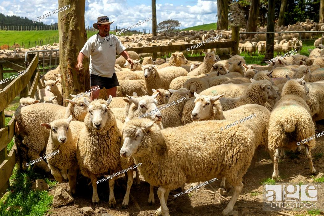 Stock Photo: Sheep Are Moved Into A Sheep Pen In Readiness To Be Sold, Sheep Farm, Pukekohe, New Zealand.