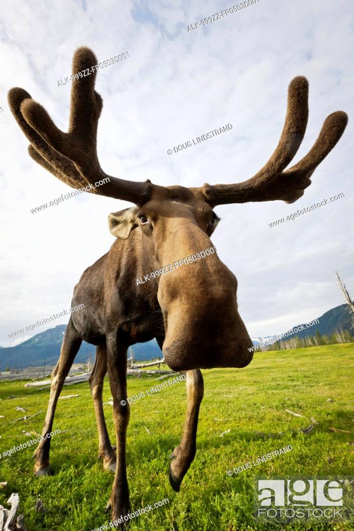 Stock Photo: CAPTIVE: Wide angle close up of an approaching moose with antlers in velvet, Alaska Wildlife Conservation Center, Southcentral Alaska, Summer.