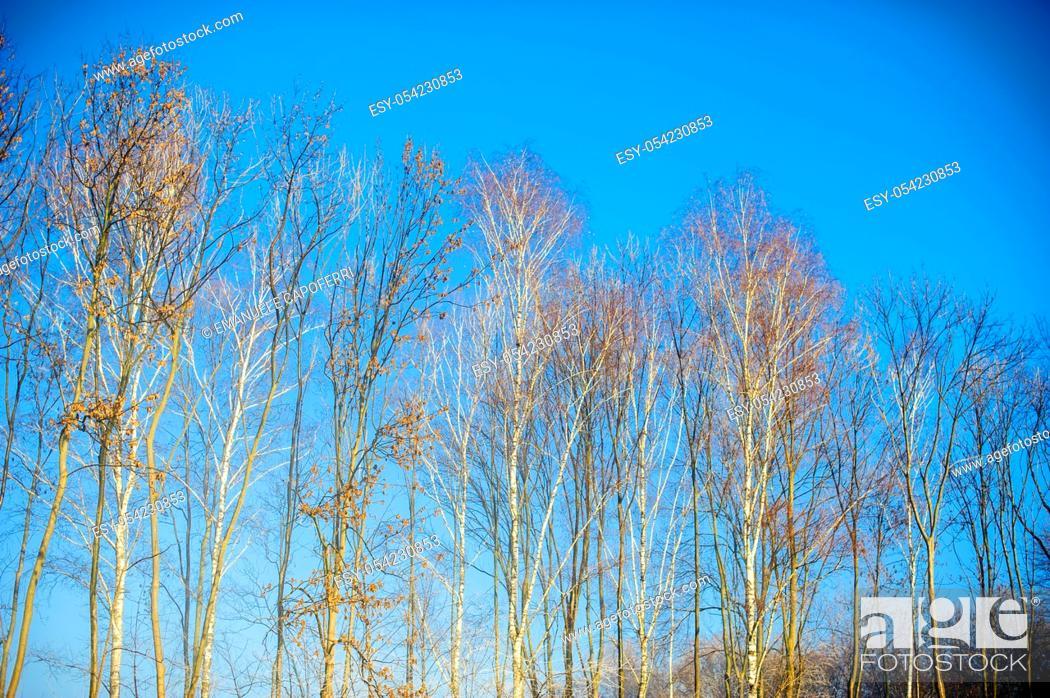 Stock Photo: Row of poplars in winter, Ranco, Varese, Italy.