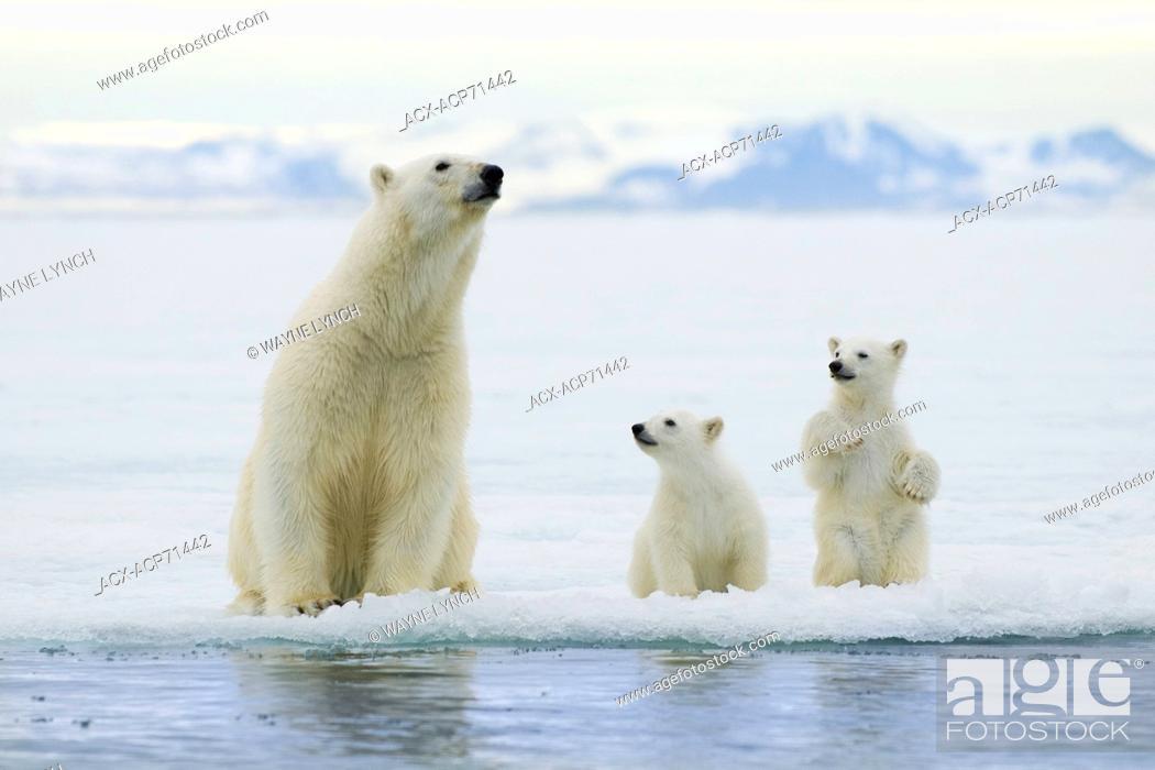 Photo de stock: Polar bear mother (Ursus maritimus) and cubs, Svalbard Archipelago, Arctic Norway.