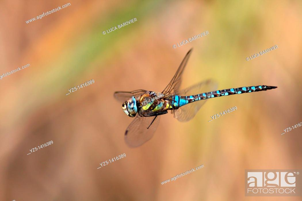 Stock Photo: Migrant Hawker Aeshna mixta adult in flight.