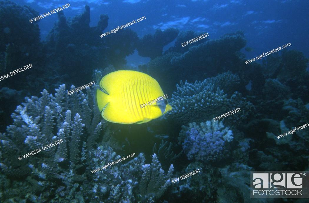 Stock Photo: Yellow butterflyfish in a blue sea with coral. Location: Red Sea, Egypt.