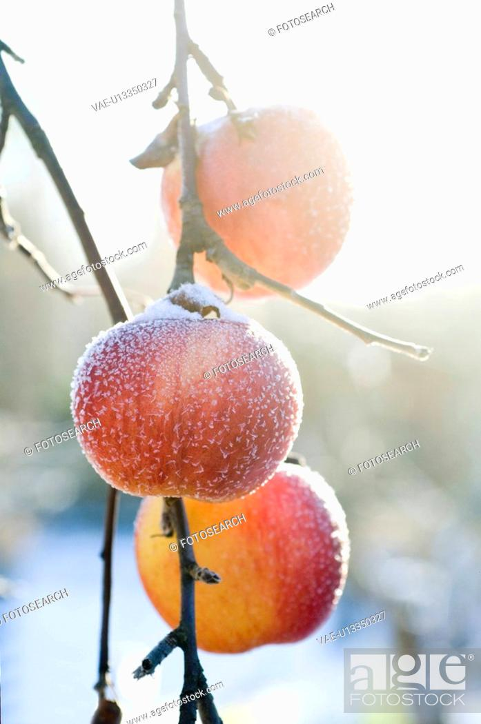 Stock Photo: closeup, apple, close-up, close, calorie, delicious, agriculture.