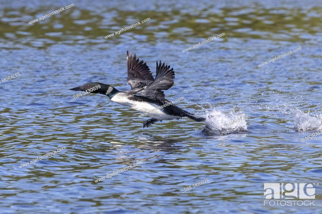 Stock Photo: United States, Michigan, Common Loon (Gavia immer), on a lake, taking off.