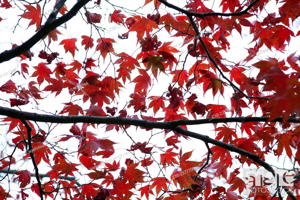 Imagen: Japanese Maple tree, Acer japonicum, with red leaves, Frelinghuysen Arboretum, Morristown, New Jersey, NJ, USA.