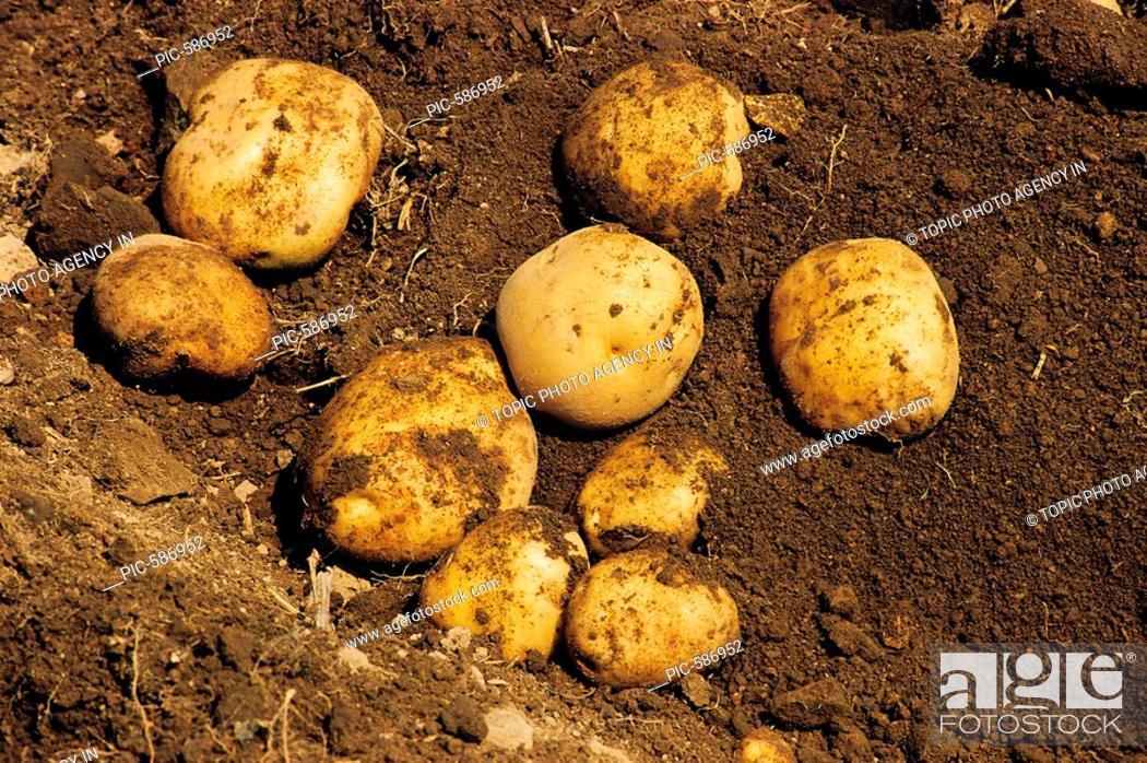 Stock Photo: Potatoes.