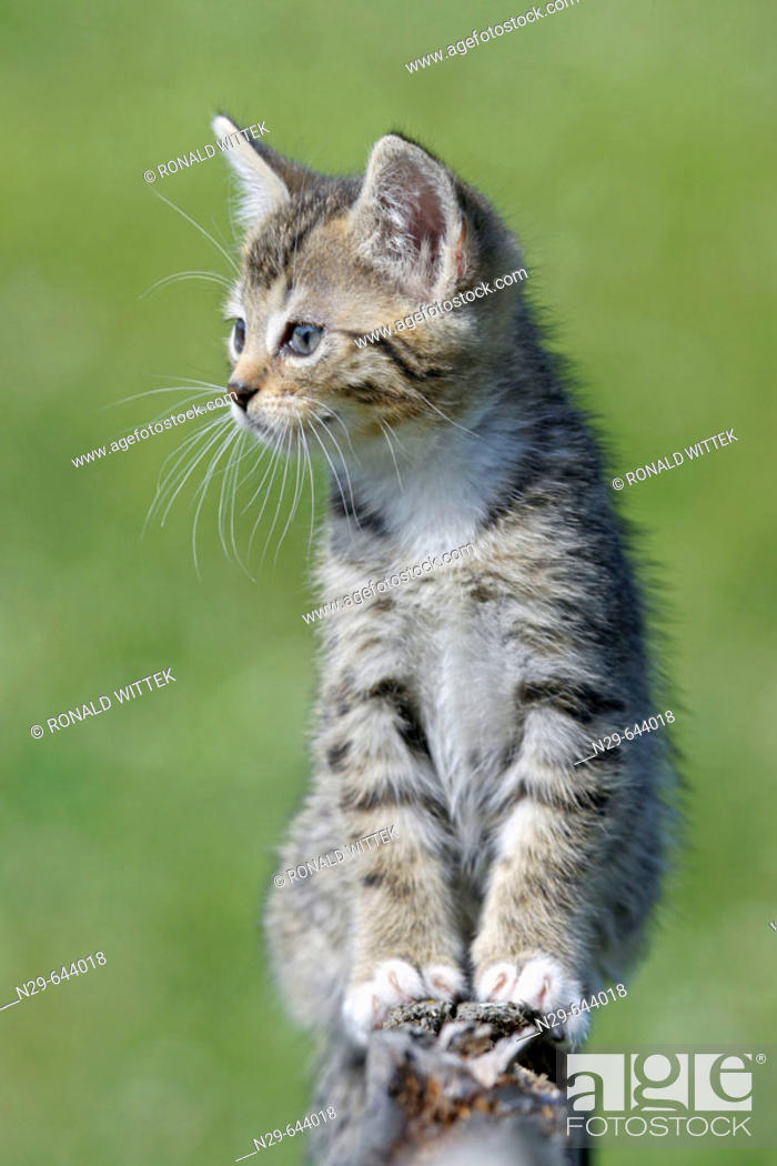 Stock Photo: Domestic Cat , Germany, kitten, on a wooden fence.