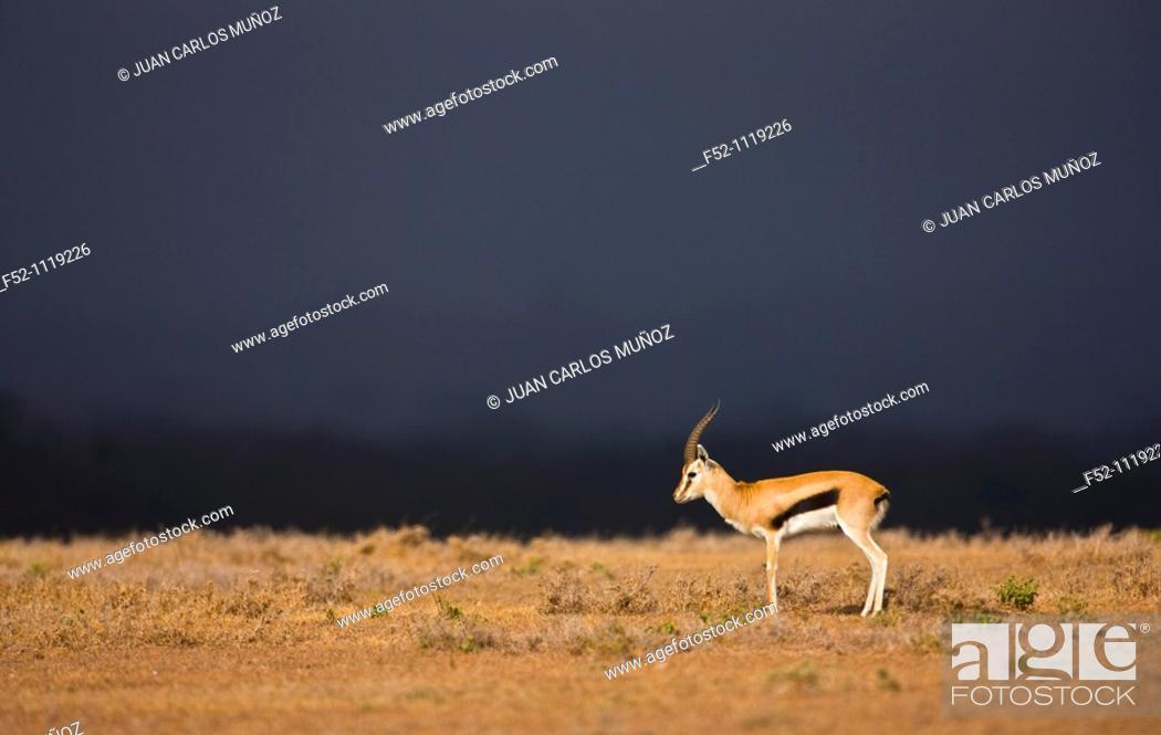 Stock Photo: Thomson's gazelle (Eudorcas thomsonii), Solio Ranch Reserve, Kenya.