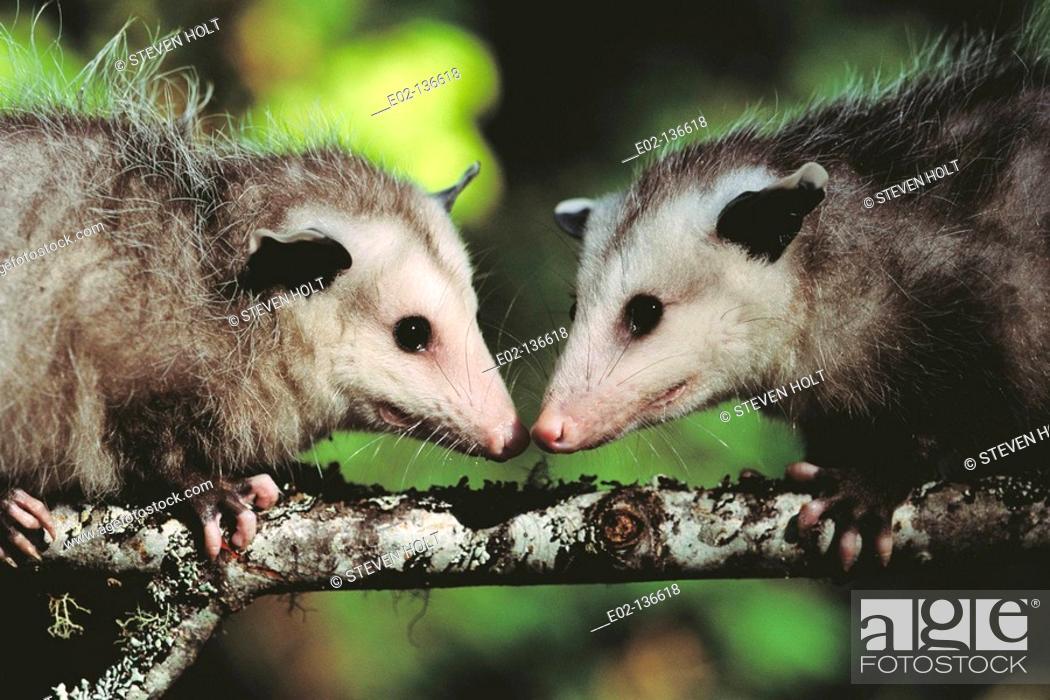 Stock Photo: Opossum (Didelphis marsupialis). Coos Bay, Oregon, USA.