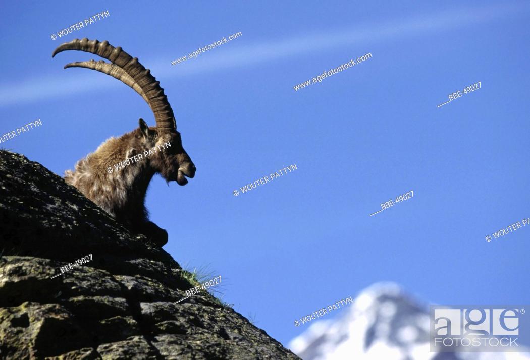 Stock Photo: Alpine ibex (Capra ibex) on rock, Italy.