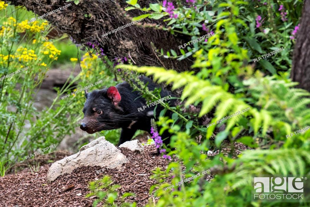 Stock Photo: Tasmanian devil (Sarcophilus harrisii), largest carnivorous marsupial native to Australia.