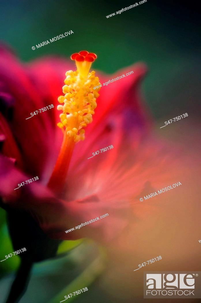 Stock Photo: Red China Rose. Hibiscus hybrid. December 2006, Maryland, USA.