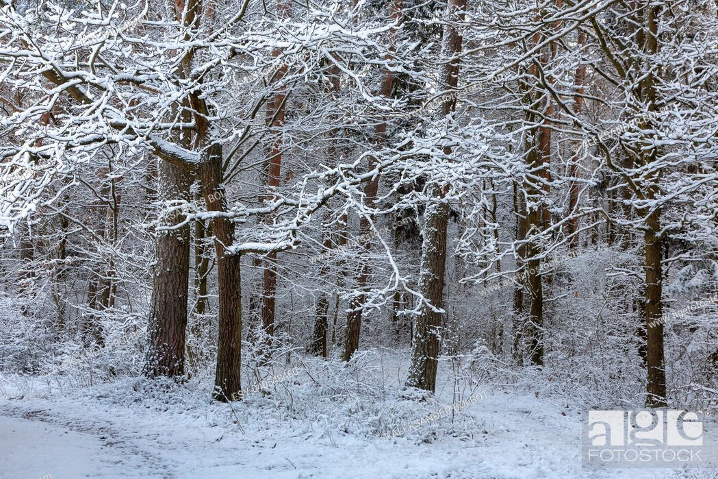 Stock Photo: Forest after snowfall with snow wrapped pines, Bialowieza Forest, Poland, Europe.