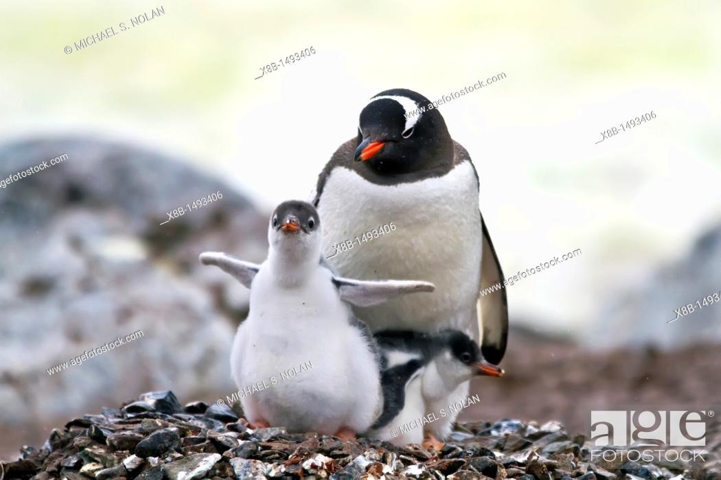 Imagen: Gentoo penguin Pygoscelis papua adult with chicks on Cuverville Island, Antarctica, Southern Ocean  MORE INFO The gentoo penguin is the third largest of all.