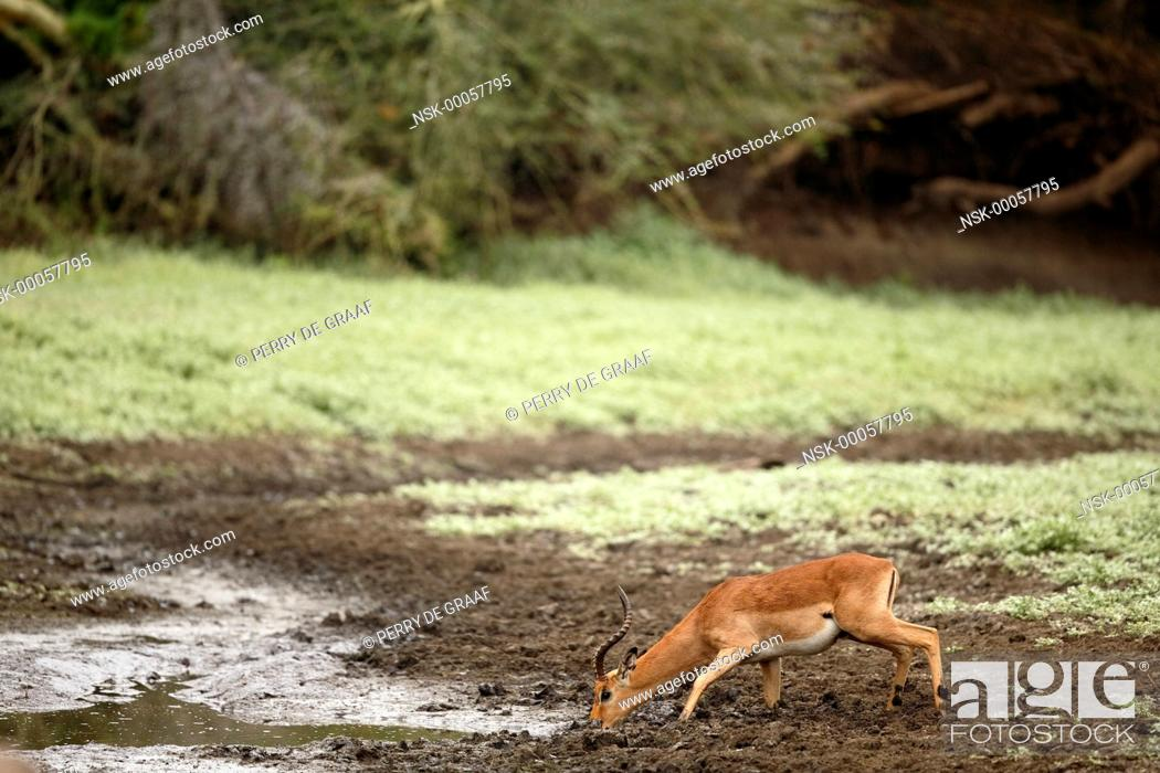 Imagen: Impala (Aepyceros melampus), male drinking water from a muddy pool, South Africa, Mpumalanga, Kruger National Park.