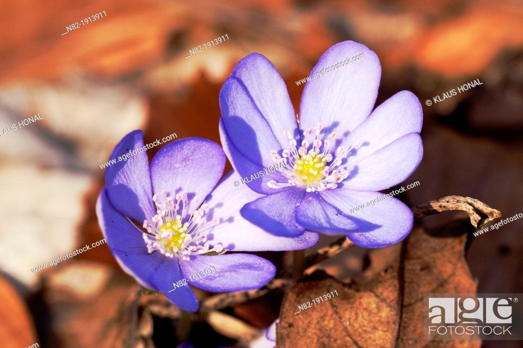 Stock Photo: Close up of Liverworts Hepatica nobilis grows on calcareous soil in a deciduous forest - Naturpark Altmuehltal, Bavaria/Germany.