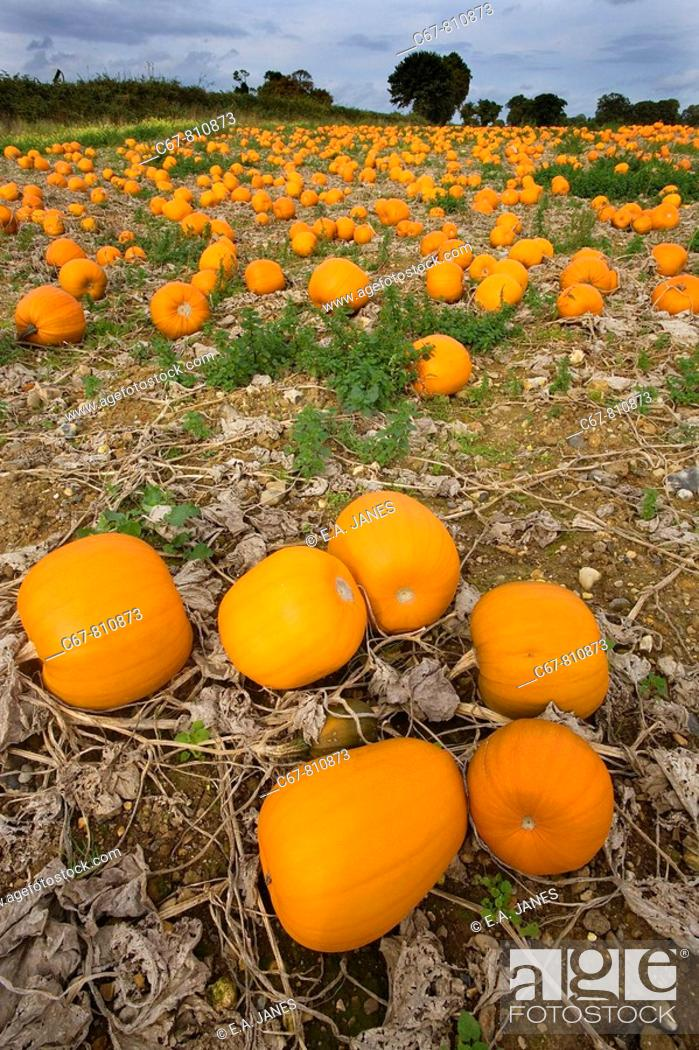 Stock Photo: Pumpkins ready for Harvest Norfolk October.