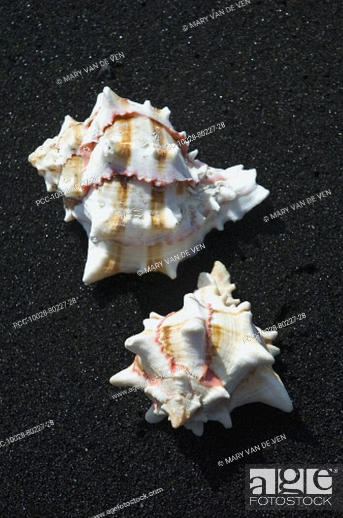 Stock Photo: Two shells on black sand beach.