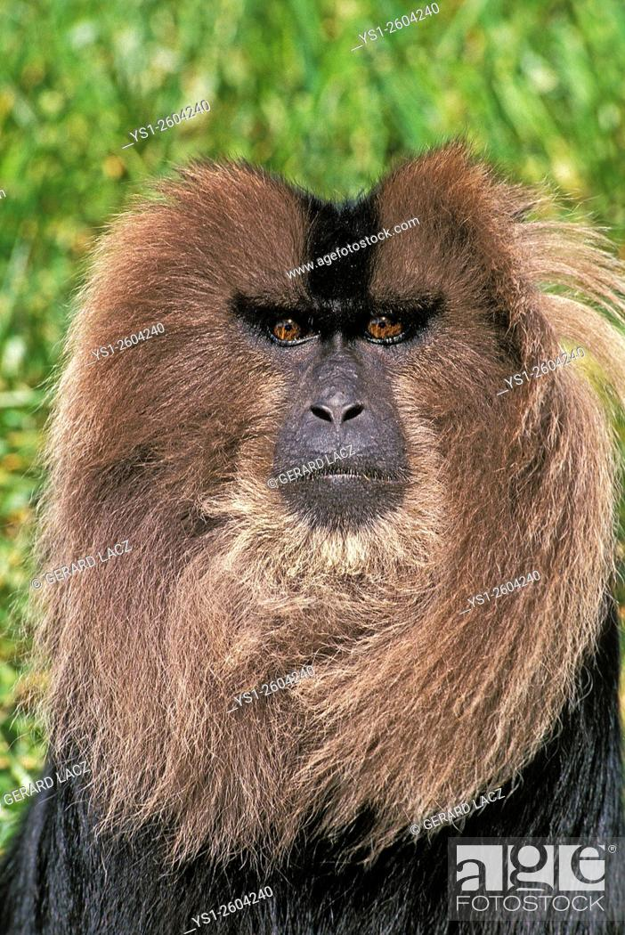 Stock Photo: Lion Tailed Macaque, macaca silenus, Portrait of Adult, Asia.