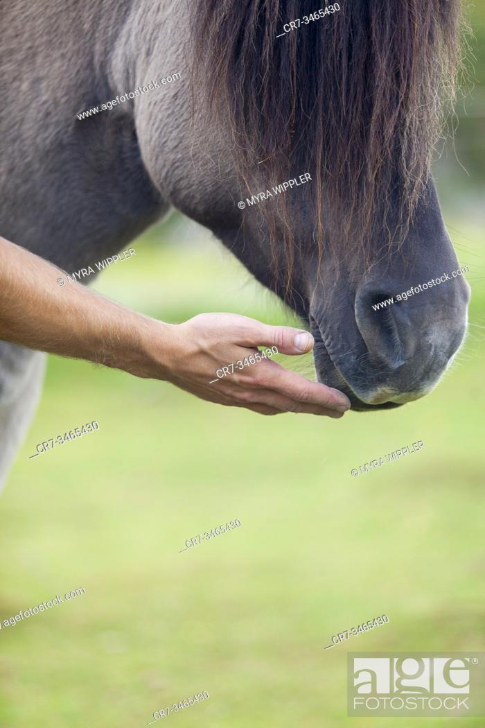 Stock Photo: Fjord horse being touched by a human hand, Småland, Sweden.