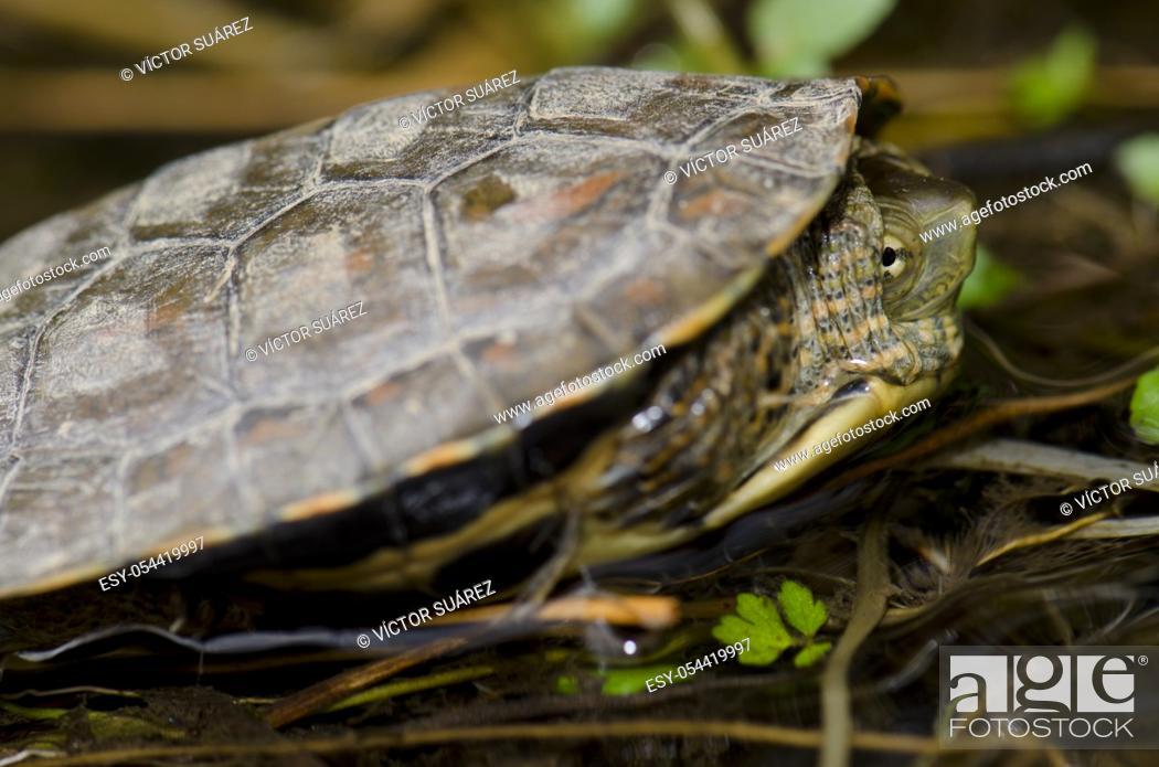 Stock Photo: Spanish pond turtle (Mauremys leprosa). Monfrague National Park. Caceres. Extremadura. Spain.