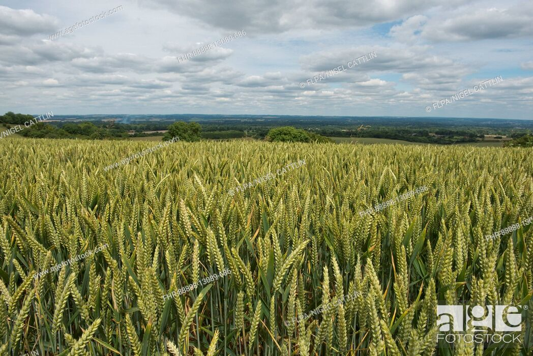 Stock Photo: Rolling field of winter wheat in green unripe ear on a fine summer day, North Wessex Downs, Berkshire, July.