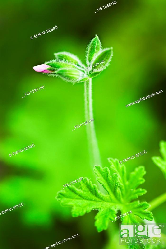 Stock Photo: Pelargonium graveolens, geranium. Valencia. Spain.