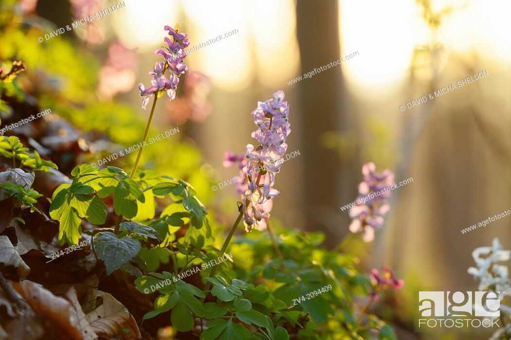 Stock Photo: Blossoms from a (Corydalis cava) by sunset.