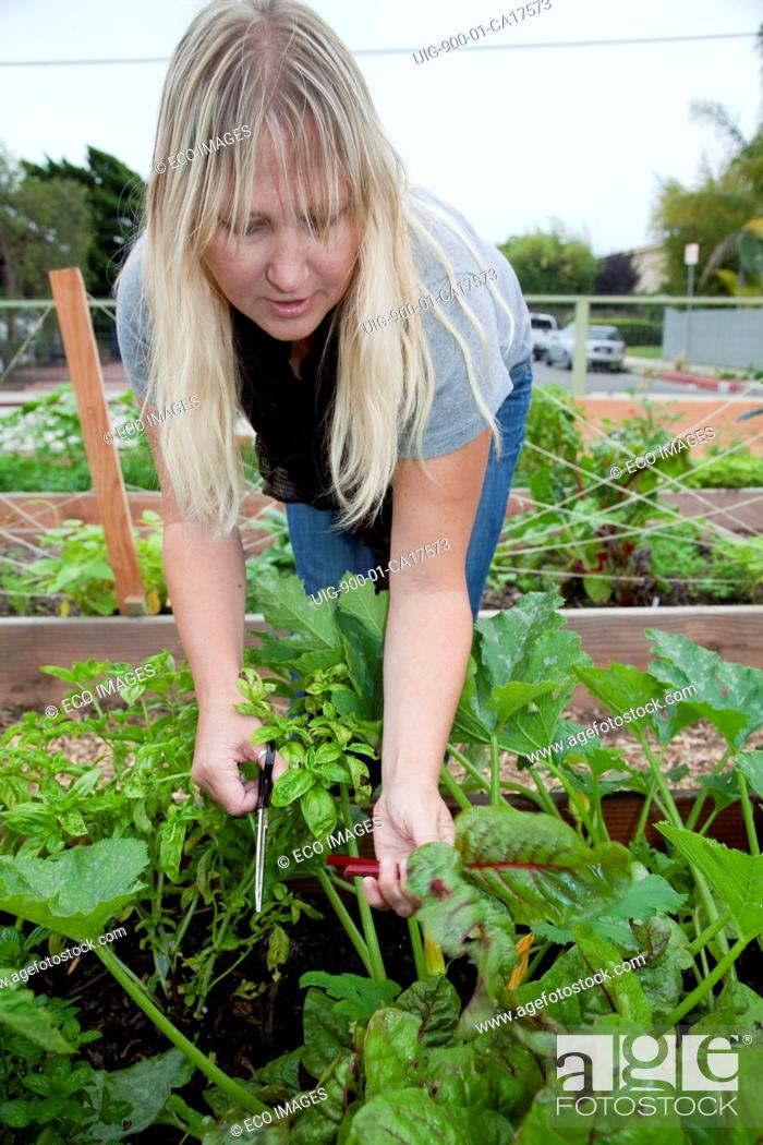 Stock Photo: First harvest includes zucchini, swiss chard, yellow squash and cucumbers at Venice Community Garden, California, USA.