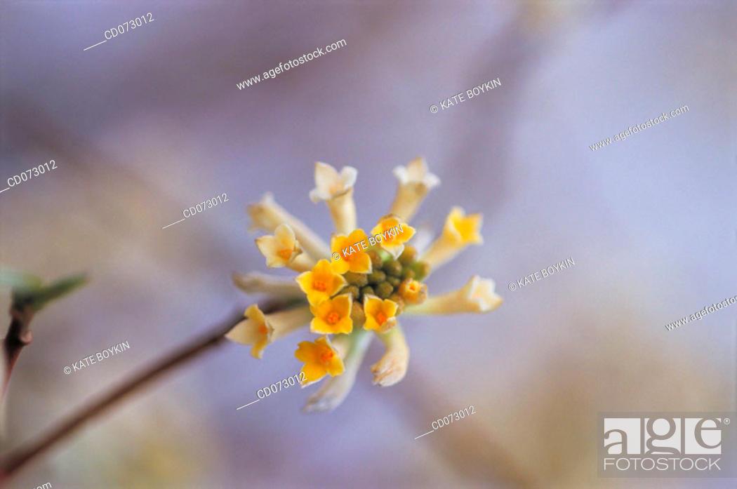 Stock Photo: Paper bush (Edgeworthia papyrifera).