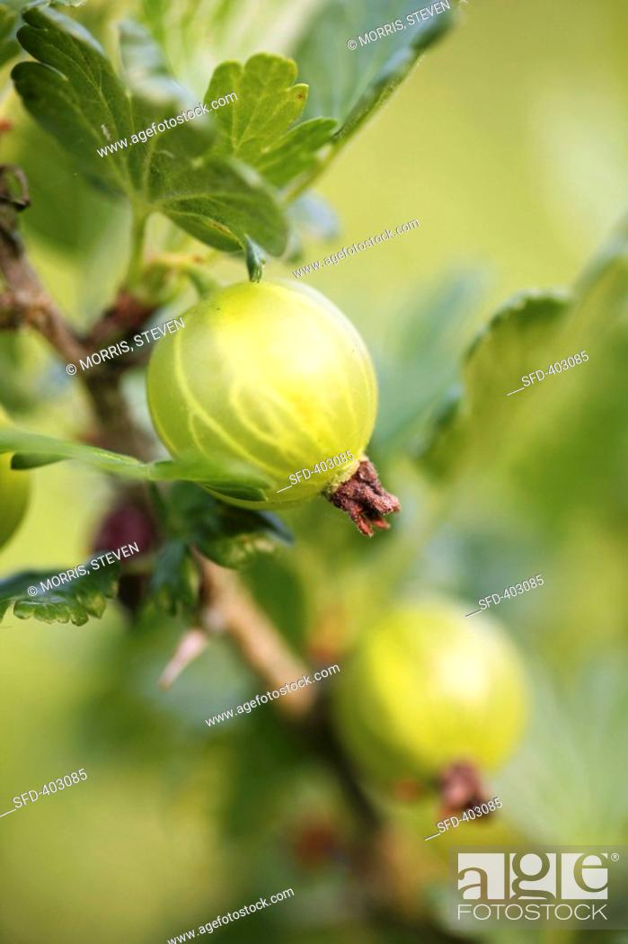 Stock Photo: Two gooseberries on the branch.
