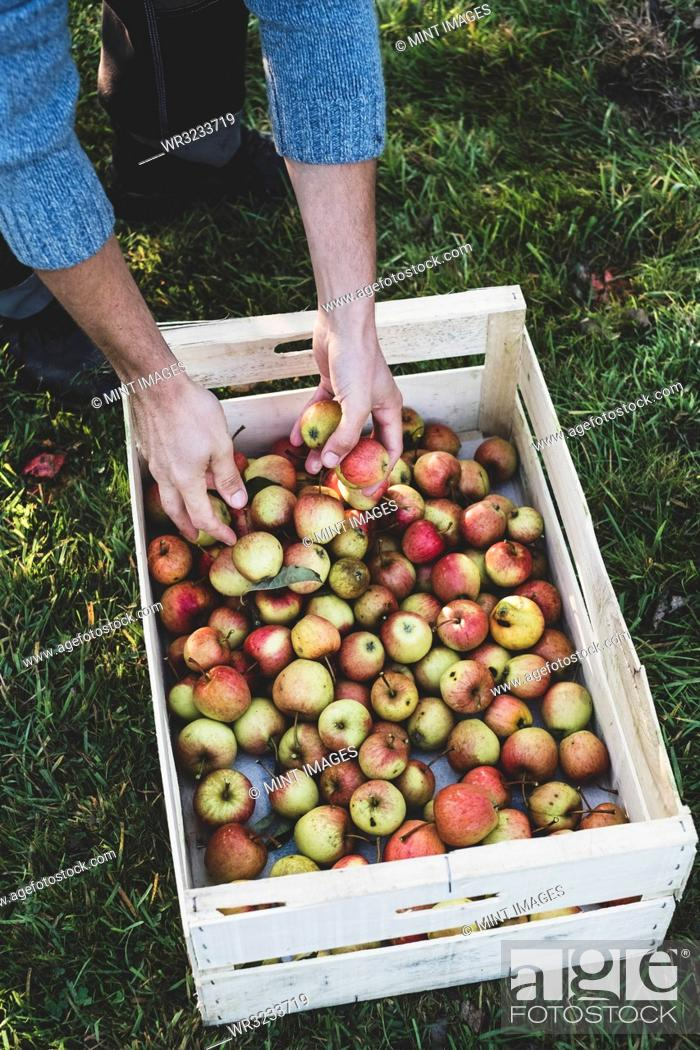 Stock Photo: High angle close up of red and green apples in crate. Apple harvest in autumn.