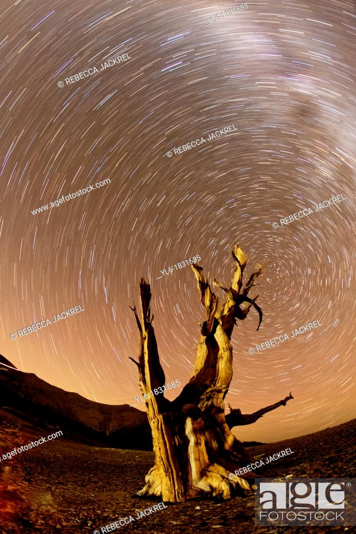 Stock Photo: Star trails and the Milky Way above an Ancient Bristlecone Pine tree.
