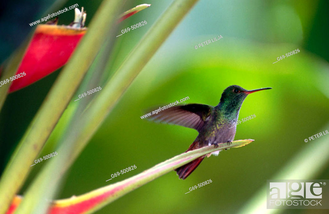 Stock Photo: Bronze-tailde plumeleteer (Chalybura urochrysia). Vara Blanca. Costa Rica.