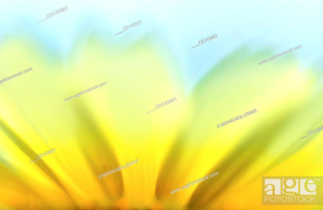 Stock Photo: Bush Sunflower (Encelia californica).