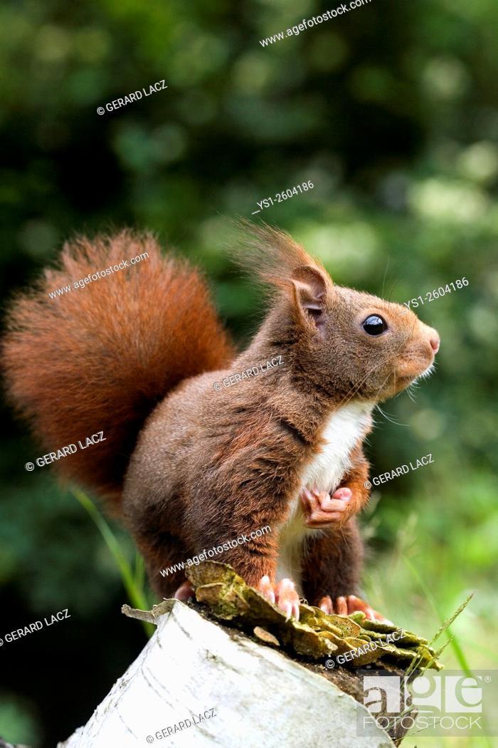 Stock Photo: Red Squirrel, sciurus vulgaris, Adult, Normandy.