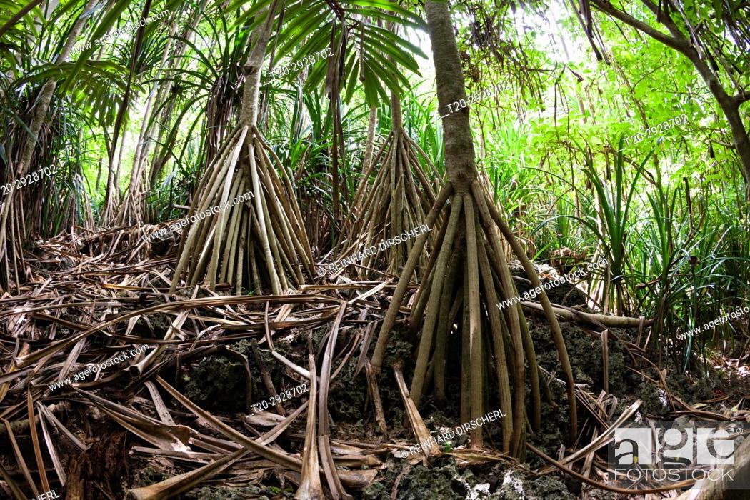 Stock Photo: Pandanus Forest, Pandanus christmatensis, Christmas Island, Australia.