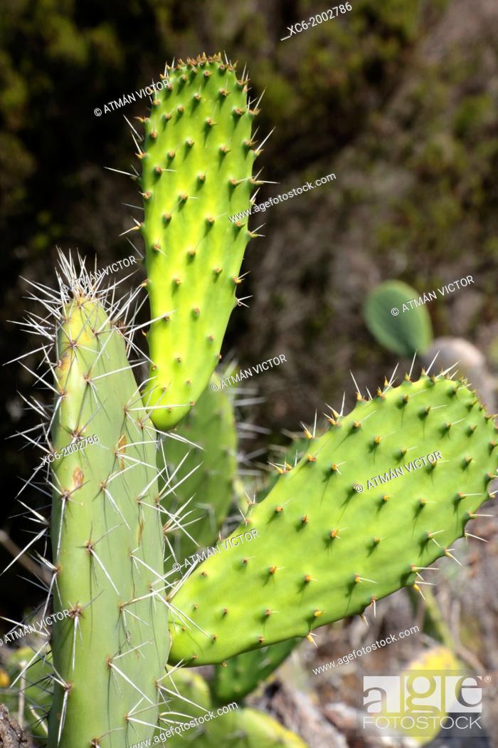 Stock Photo: cactus plant in tenerife island.