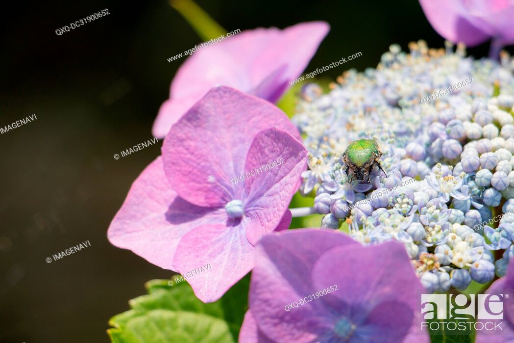 Stock Photo: Hydrangea and Flower chafer.