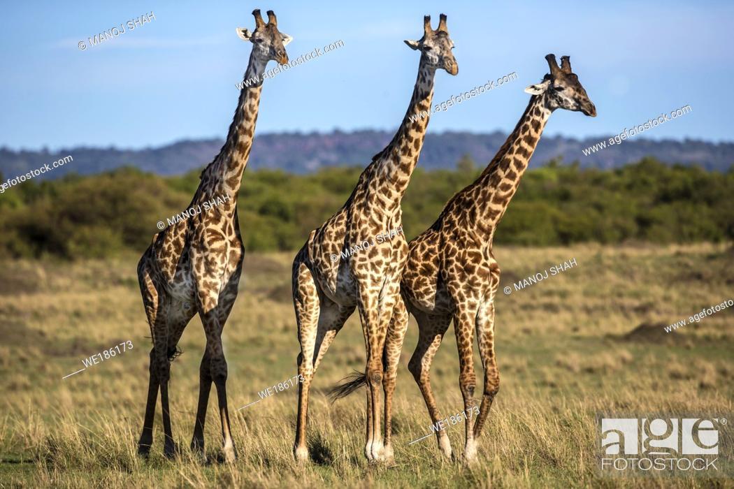 Stock Photo: 3 Giraffes walking on the savanna.